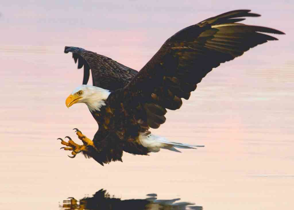 picture of north american eagle